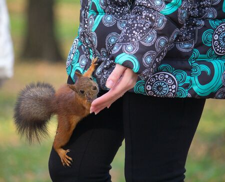 begs: squirrel begs for nuts in the autumn park