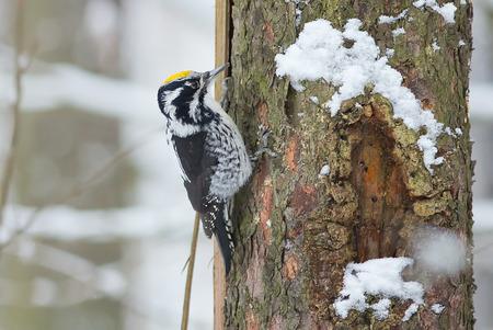 Three-toed woodpecker Citrine - Picoides tridactylus