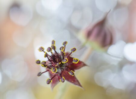 palustre: Flower of marsh Comarum close-up on a romantic bokeh background