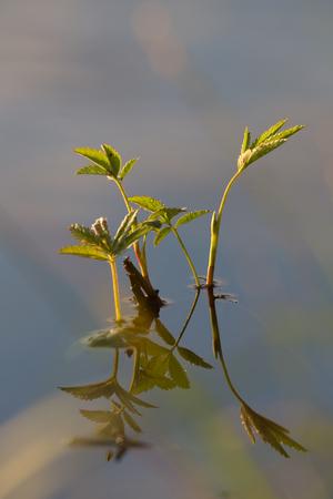 palustre: Marsh Sabelnik with drops of dew on leaves