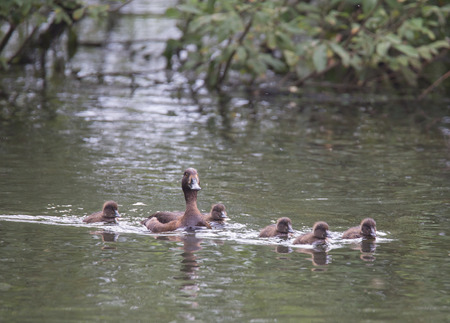 crested duck: Tufted Duck female with ducklings on the river Pekhorka