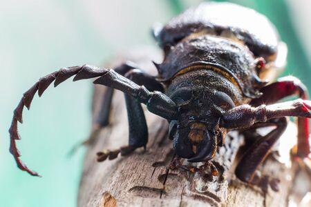 leñador: escarabajo de leñador en la rama de pino