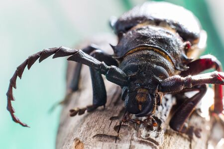woodcutter: Woodcutter beetle on pine branch