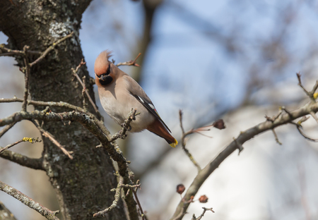 Waxwings on a branch of Chinese apple trees Stock Photo