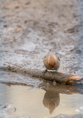 Waxwhelp drinks water from an urban puddle Stock Photo