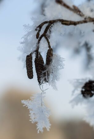 A branch of alders in crystals of hoarfrost Stock Photo