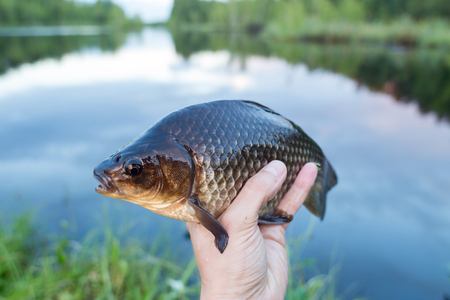 Peaty crucian on the fishermans hand Stock Photo
