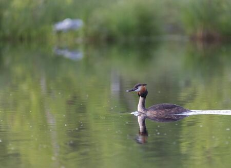 Great Crested Grebe on Lake Kozlovo, Balashikha Stok Fotoğraf - 80924686