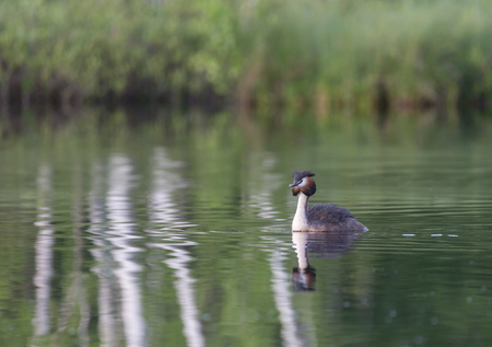 Большой хохлатый греб на озере Козлово, Балашиха