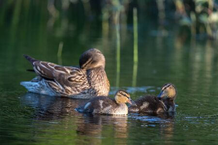Утиная семья на озере Козлово
