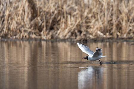 Перелет чайки над поверхностью воды