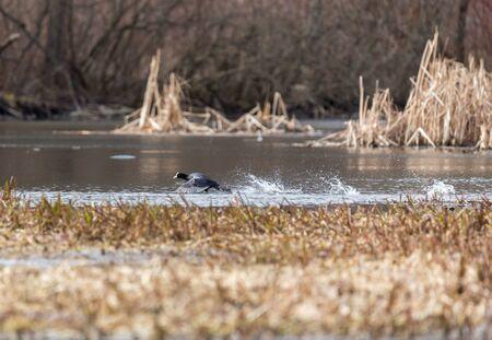 Кут бежит по водной поверхности на реке Пехорка