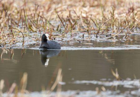Кут плавает в кустах на реке Пехорка Фото со стока
