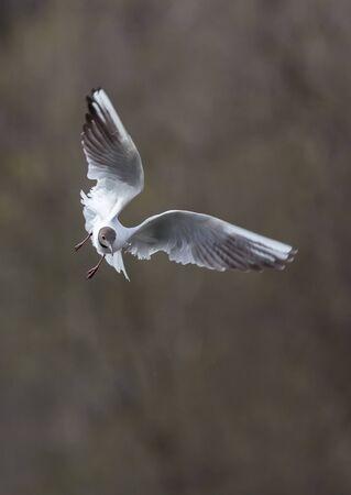 Черная чайка в полете по реке Пехорка