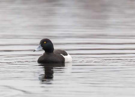 Мужская хохлатая утка на воде под дождем