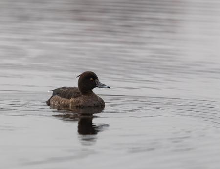 Женская тафтатая утка в воде под дождем