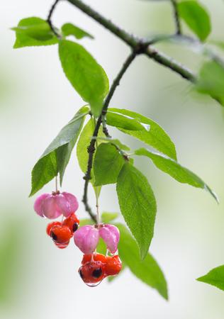 Фрукты Euonymus в осеннем лесу Фото со стока