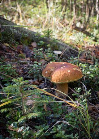 Белый гриб крупным планом Фото со стока