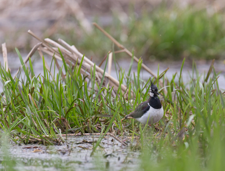 Lapwing on the spring banks of the Pekhorka River