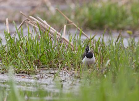 Львинг на весенних берегах реки Пехорка