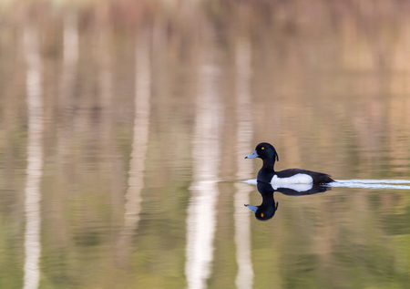 Tufted duck swims on the lake in spring