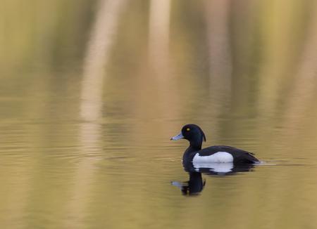 Весной утка плавает на озере Фото со стока