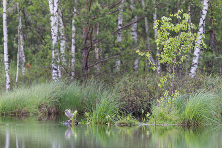 Nestling of a seagull on a summer lake against a backdrop of birches Фото со стока - 92356981