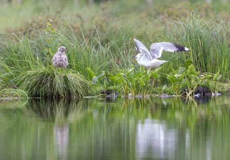 Gull with chick on lake