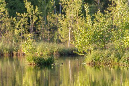 Весенние зеленые листья берез с отражением на озере Фото со стока - 92347830