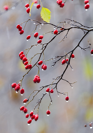 Fruits of hawthorn on a branch with drops from autumn rain