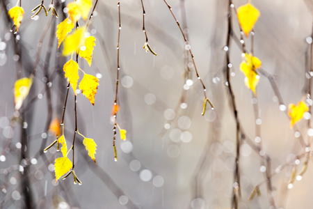he yellow leaves of the birch tree with drops from the autumn rain