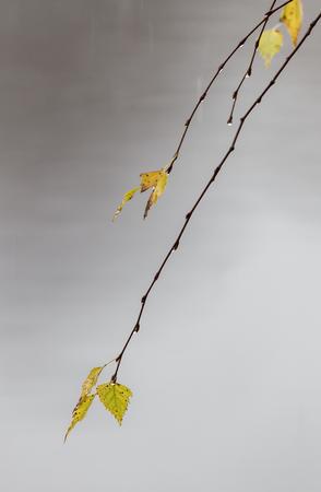 он желтые листья березы с каплями от осеннего дождя