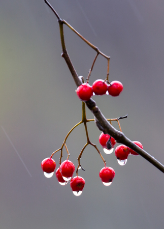 Berries of red mountain ash with drops from autumn rain Фото со стока