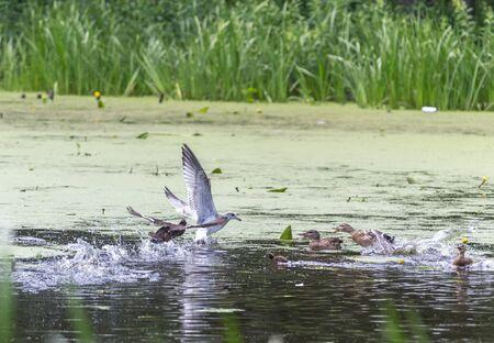 Утки отгоняют молодую чайку на реке Пехорка