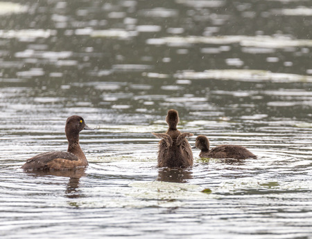 Crested duck with chicks on the water of the river Pekhorka, st. Zarechnaya city Balashiha Stock Photo