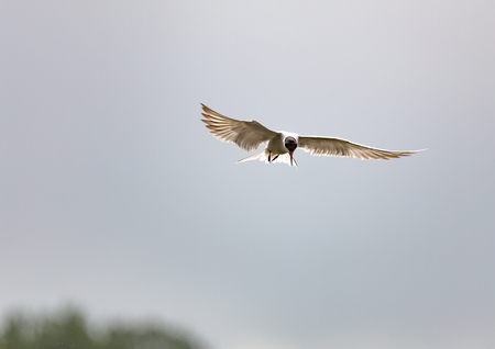 The river terns are looking for prey, hovering in the air, ul. Zarechnaya city Balashiha
