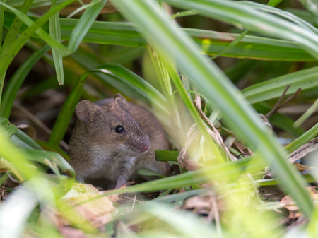 Gray mouse in a thicket of green grass on the bank of the autumn river Pekhorka