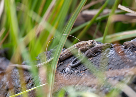 Two lizard resting on autumn river shore Pehorka