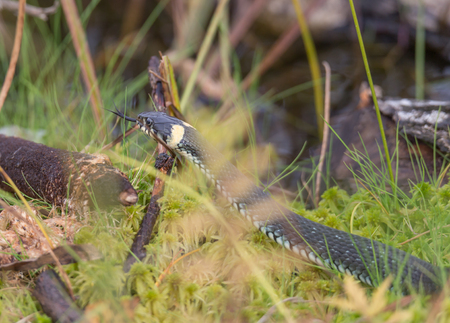 snake on an autumn swamp in a thicket of grass Фото со стока - 92949066