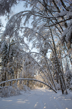 Winter landscape in the forest after a heavy snow