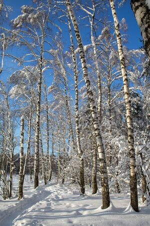 Snow-covered white birches in the winter forest in the bright sun