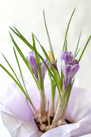 Bouquet from crocuses in a small pot