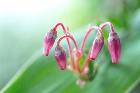 Buds of the blossoming cranberry close up Фото со стока