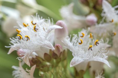 Trifola flower close up Фото со стока