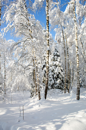 Snow-covered winter forest in the bright sunny silent afternoon Фото со стока
