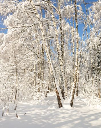 Snow-covered winter forest in the bright sunny silent afternoon 写真素材