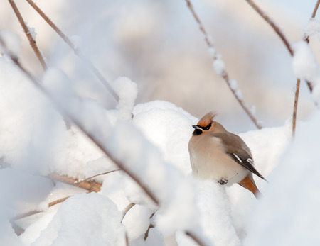 Waxwings on snow-covered tree branches in a winter bright day