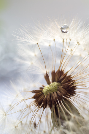 Fluffy dandelion with seeds in droplets of water Banco de Imagens
