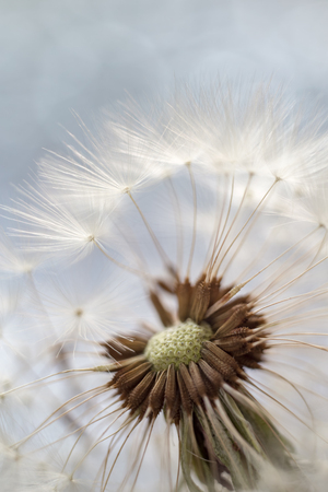 Fluffy dandelion with seeds on a blurred background