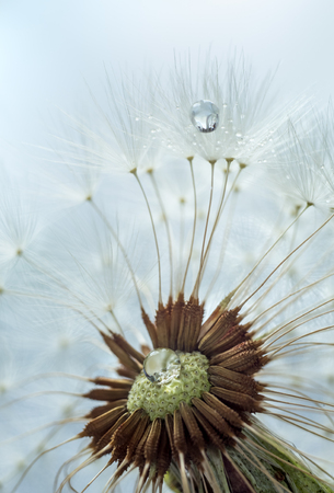 Fluffy dandelion with seeds in droplets of water Фото со стока